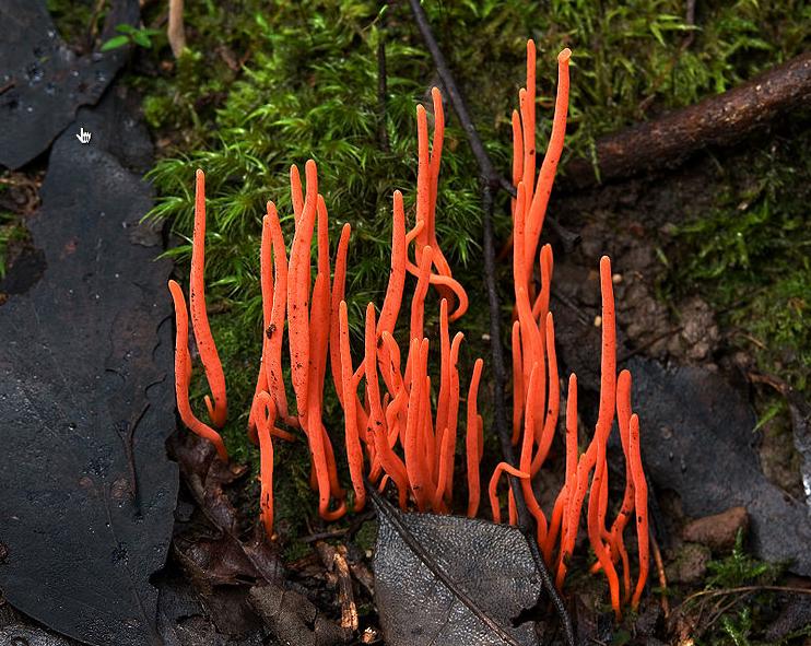 An orange coral fungus - Clavulinopsis sulcata